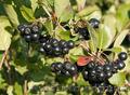 Продам саженцы Черноплодной Рябины (Аронии) и много других растений - Изображение #3, Объявление #1562596