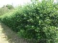 Продам саженцы Черноплодной Рябины (Аронии) и много других растений - Изображение #5, Объявление #1562596