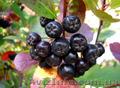 Продам саженцы Черноплодной Рябины (Аронии) и много других растений - Изображение #6, Объявление #1562596