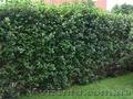 Продам саженцы Черноплодной Рябины (Аронии) и много других растений - Изображение #7, Объявление #1562596