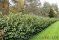 Продам саженцы Черноплодной Рябины (Аронии) и много других растений - Изображение #8, Объявление #1562596