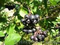 Продам саженцы Черноплодной Рябины (Аронии) и много других растений - Изображение #9, Объявление #1562596