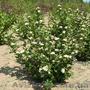 Продам саженцы Черноплодной Рябины (Аронии) и много других растений - Изображение #10, Объявление #1562596