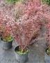 Продам саженцы Барбариса и много других растений (опт от 1000 грн) - Изображение #9, Объявление #1562550