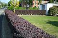 Продам саженцы Барбариса и много других растений (опт от 1000 грн) - Изображение #10, Объявление #1562550