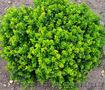 Продам саженцы Барбариса и много других растений (опт от 1000 грн), Объявление #1562550