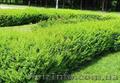Продам саженцы Барбариса и много других растений (опт от 1000 грн) - Изображение #2, Объявление #1562550