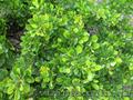 Продам саженцы Барбариса и много других растений (опт от 1000 грн) - Изображение #7, Объявление #1562550