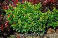Продам саженцы Барбариса и много других растений (опт от 1000 грн) - Изображение #8, Объявление #1562550