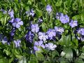 Продам саженцы Барвинка и много других растений (опт от 1000 грн) - Изображение #9, Объявление #1562593