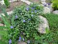 Продам саженцы Барвинка и много других растений (опт от 1000 грн) - Изображение #10, Объявление #1562593