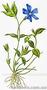 Продам саженцы Барвинка и много других растений (опт от 1000 грн), Объявление #1562593