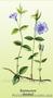 Продам саженцы Барвинка и много других растений (опт от 1000 грн) - Изображение #2, Объявление #1562593