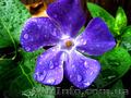Продам саженцы Барвинка и много других растений (опт от 1000 грн) - Изображение #3, Объявление #1562593
