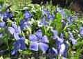 Продам саженцы Барвинка и много других растений (опт от 1000 грн) - Изображение #4, Объявление #1562593