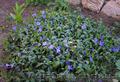 Продам саженцы Барвинка и много других растений (опт от 1000 грн) - Изображение #5, Объявление #1562593