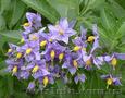 Продам саженцы Барвинка и много других растений (опт от 1000 грн) - Изображение #6, Объявление #1562593