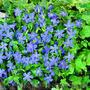 Продам саженцы Барвинка и много других растений (опт от 1000 грн) - Изображение #7, Объявление #1562593