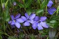 Продам саженцы Барвинка и много других растений (опт от 1000 грн) - Изображение #8, Объявление #1562593