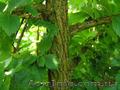 Продам саженцы Береста и много других растений (опт от 1000 грн), Объявление #1562814