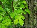 Продам саженцы Береста и много других растений (опт от 1000 грн) - Изображение #2, Объявление #1562814