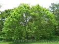 Продам саженцы Береста и много других растений (опт от 1000 грн) - Изображение #3, Объявление #1562814