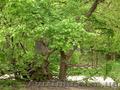 Продам саженцы Береста и много других растений (опт от 1000 грн) - Изображение #4, Объявление #1562814