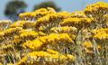 Продам саженцы Бессмертник и много других растений (опт от 1000 грн), Объявление #1562586