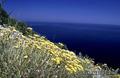 Продам саженцы Бессмертник и много других растений (опт от 1000 грн) - Изображение #2, Объявление #1562586