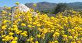 Продам саженцы Бессмертник и много других растений (опт от 1000 грн) - Изображение #3, Объявление #1562586