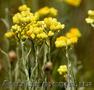 Продам саженцы Бессмертник и много других растений (опт от 1000 грн) - Изображение #4, Объявление #1562586