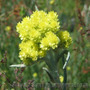 Продам саженцы Бессмертник и много других растений (опт от 1000 грн) - Изображение #5, Объявление #1562586