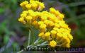 Продам саженцы Бессмертник и много других растений (опт от 1000 грн) - Изображение #6, Объявление #1562586
