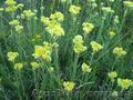 Продам саженцы Бессмертник и много других растений (опт от 1000 грн) - Изображение #7, Объявление #1562586