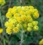 Продам саженцы Бессмертник и много других растений (опт от 1000 грн) - Изображение #8, Объявление #1562586