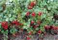 Продам саженцы Брусники и много других растений (опт от 1000 грн) - Изображение #7, Объявление #1562584