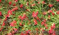 Продам саженцы Брусники и много других растений (опт от 1000 грн) - Изображение #10, Объявление #1562584