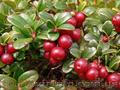 Продам саженцы Брусники и много других растений (опт от 1000 грн), Объявление #1562584