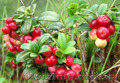 Продам саженцы Брусники и много других растений (опт от 1000 грн) - Изображение #2, Объявление #1562584