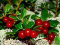 Продам саженцы Брусники и много других растений (опт от 1000 грн) - Изображение #3, Объявление #1562584