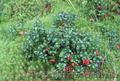 Продам саженцы Брусники и много других растений (опт от 1000 грн) - Изображение #4, Объявление #1562584