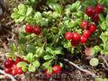 Продам саженцы Брусники и много других растений (опт от 1000 грн) - Изображение #5, Объявление #1562584