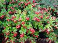 Продам саженцы Брусники и много других растений (опт от 1000 грн) - Изображение #6, Объявление #1562584