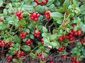 Продам саженцы Брусники и много других растений (опт от 1000 грн) - Изображение #9, Объявление #1562584