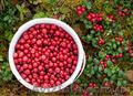 Продам саженцы Брусники и много других растений (опт от 1000 грн) - Изображение #8, Объявление #1562584