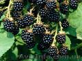 Продам саженцы Ежевики и много других растений (опт от 1000 грн), Объявление #1562832