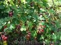 Продам саженцы Ежевики и много других растений (опт от 1000 грн) - Изображение #2, Объявление #1562832