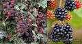 Продам саженцы Ежевики и много других растений (опт от 1000 грн) - Изображение #3, Объявление #1562832