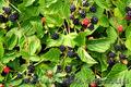 Продам саженцы Ежевики и много других растений (опт от 1000 грн) - Изображение #4, Объявление #1562832