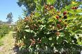 Продам саженцы Ежевики и много других растений (опт от 1000 грн) - Изображение #5, Объявление #1562832